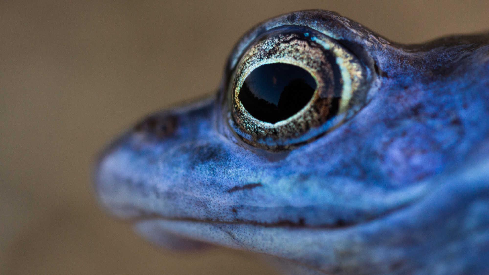 blauwe kikker