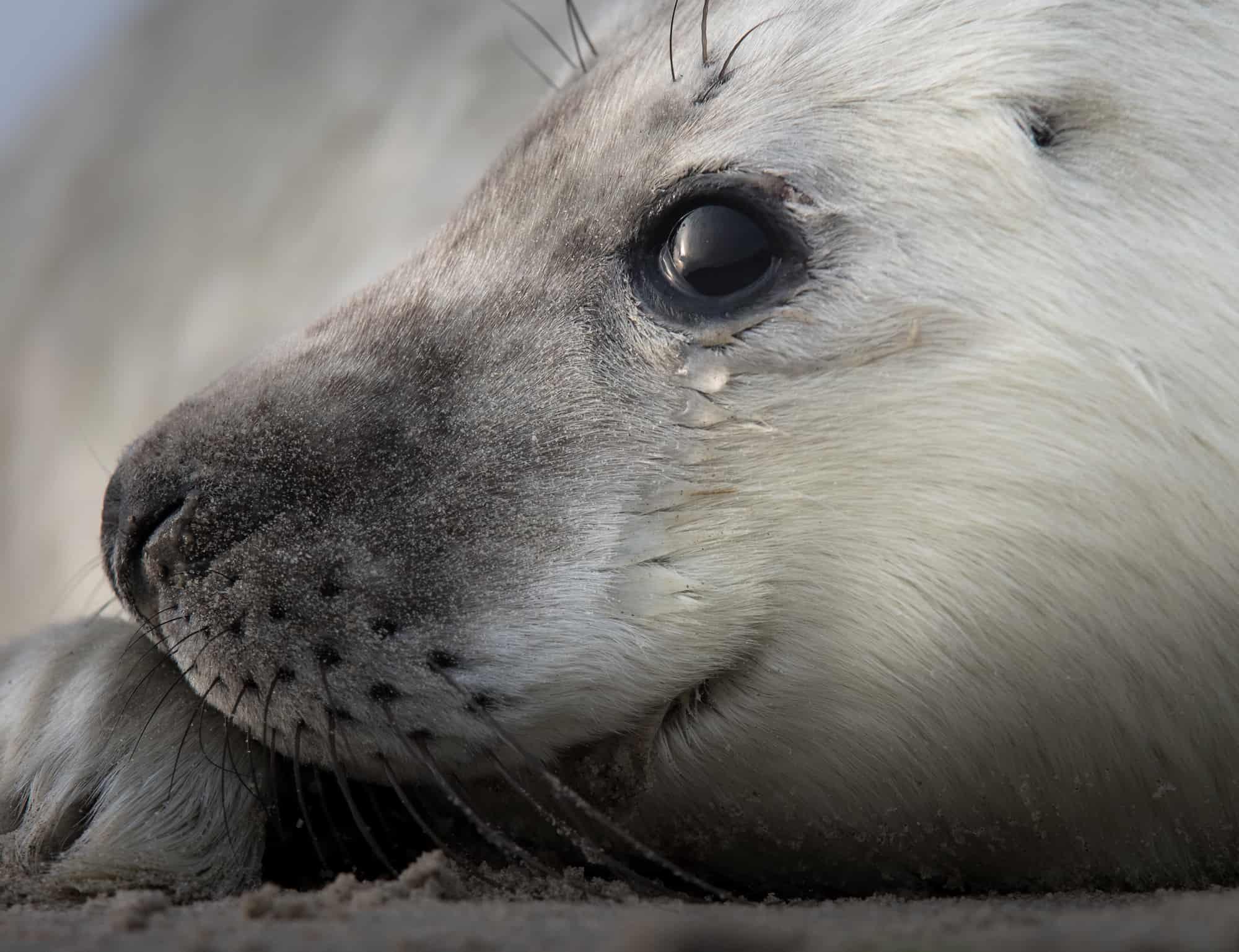 zeehond op wad