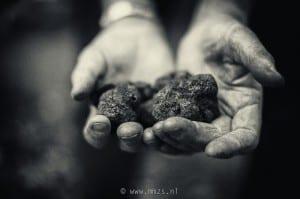 De zwarte truffel (Tuber melanosporum) leeft in symbiose met bomen. De ondergrondse vruchtlichamen van deze schimmel zijn een delicatesse maar zijn niet makkelijk te vinden.
