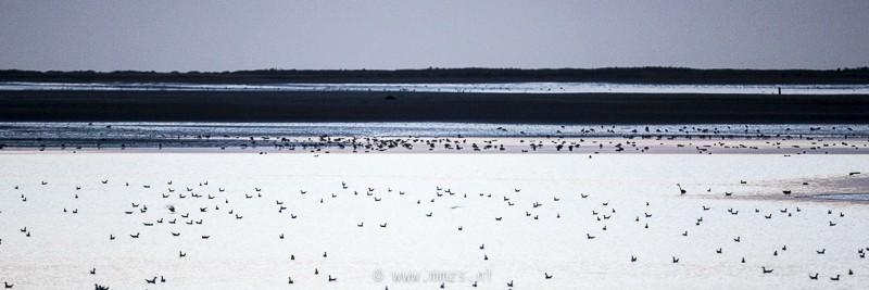 Vogels op het wad bij Kwade Hoek.