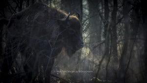In de Maashorst gaan wisenten, een Europese bisonsoort, het natuurgebied begrazen. Leo Linnartz, ecoloog bij St. ARK weet alles over deze beesten. De wisenten moeten eerst wennen aan hun nieuwe leefgebied, ze lopen in een afgesloten gebied van 200 hecta